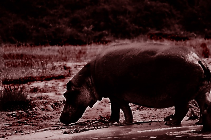 a hippo in queen elizabeth national park in uganda