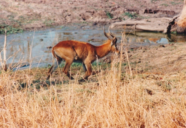 antelope in Zambia Luangwa National Park