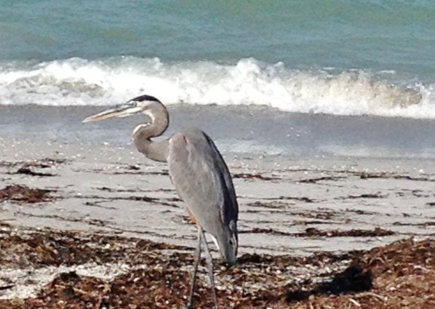 another blue heron on the beach