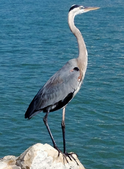 blue heron on winter beach 3