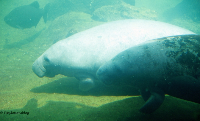 two manatees edt