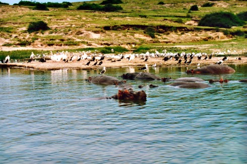 Birds and Hippos in Queen Elizabeth National park_edited-1