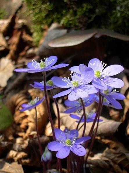Hepatica nobilis by Archenzo (CC)
