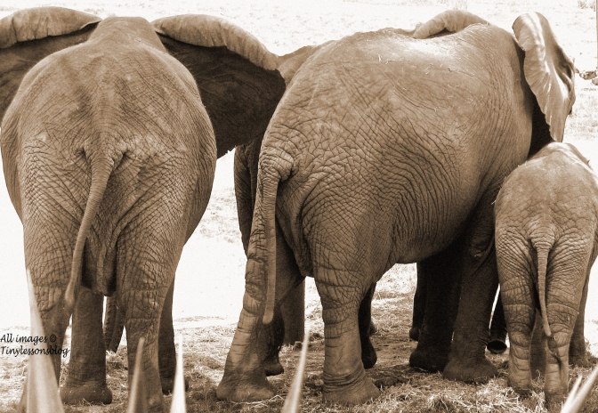 elephant butts 2