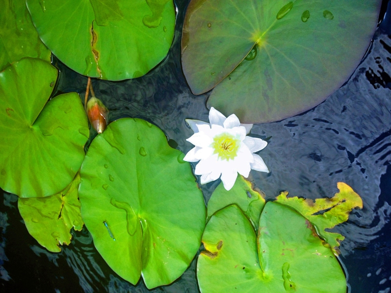 Water lilies by niece Sara/tiny lessons blog