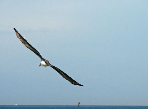 pelican in flight by tiny lessons blog