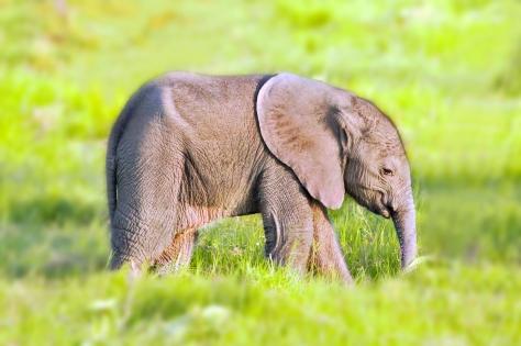 elephant baby ed
