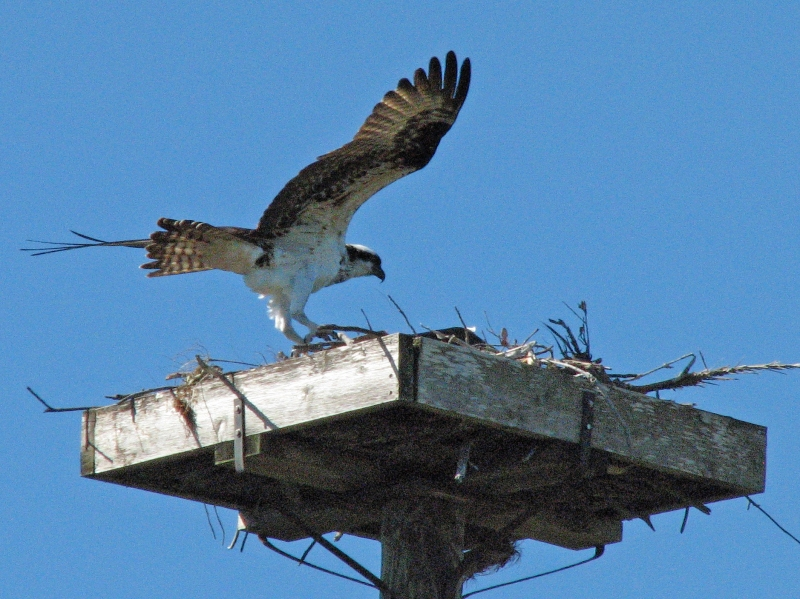 Mama Osprey