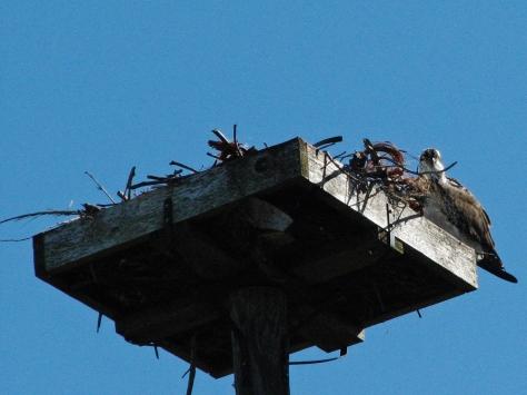 female osprey waiting ed