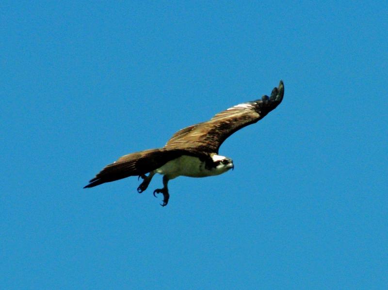 male osprey flying away edx