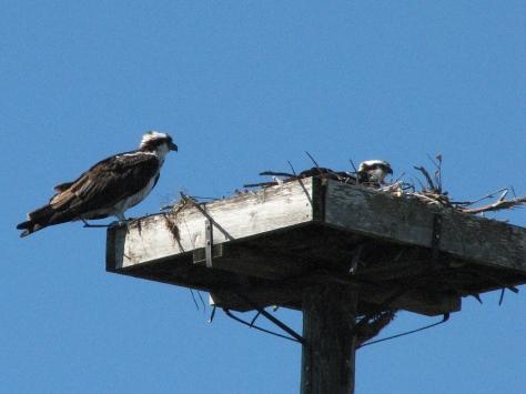 osprey couple 2