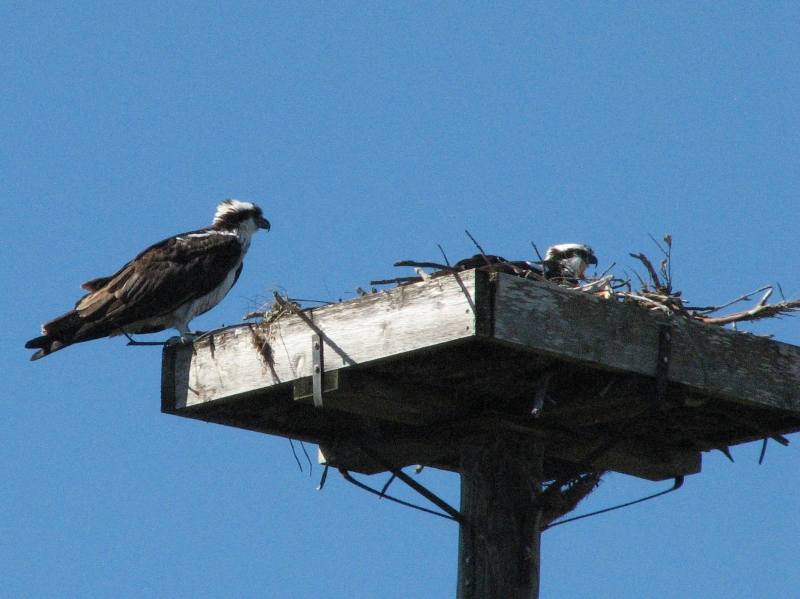 osprey couple 2