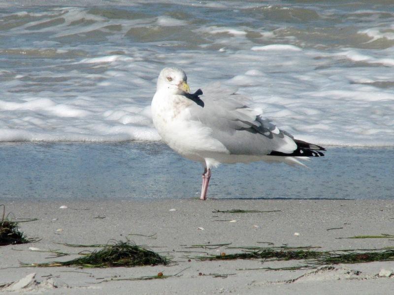 seagull ed