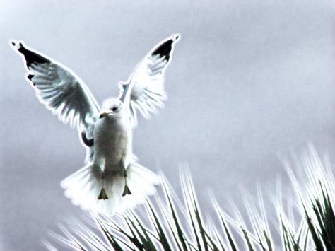 gull flying EDT