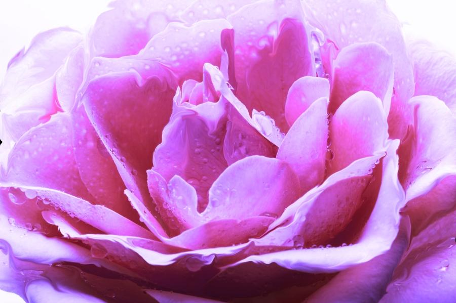 purple rose ed