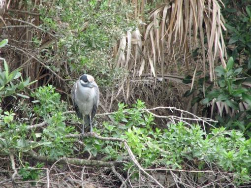 BIRD HIDING small heron edx
