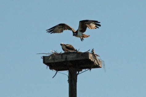 bird osprey husband leaving ed
