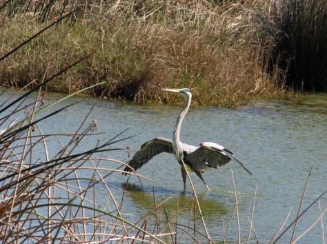 blue heron landed edx
