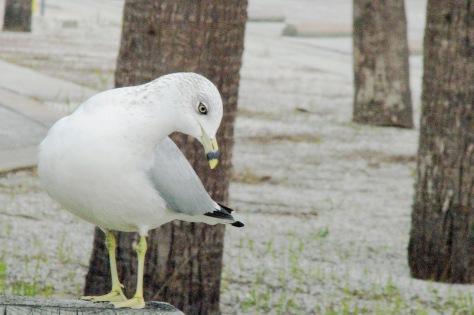 Gull edx