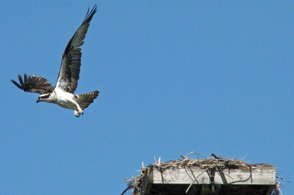Mama osprey flies to check on the dogs