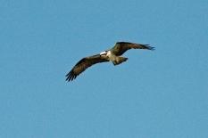 Papa osprey guards the nest