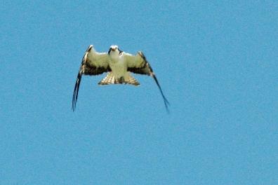 Papa osprey flies down towards the dogs