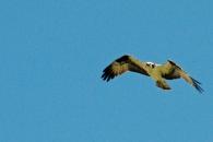 Papa osprey arrives to help