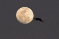 The full moon and the pelican
