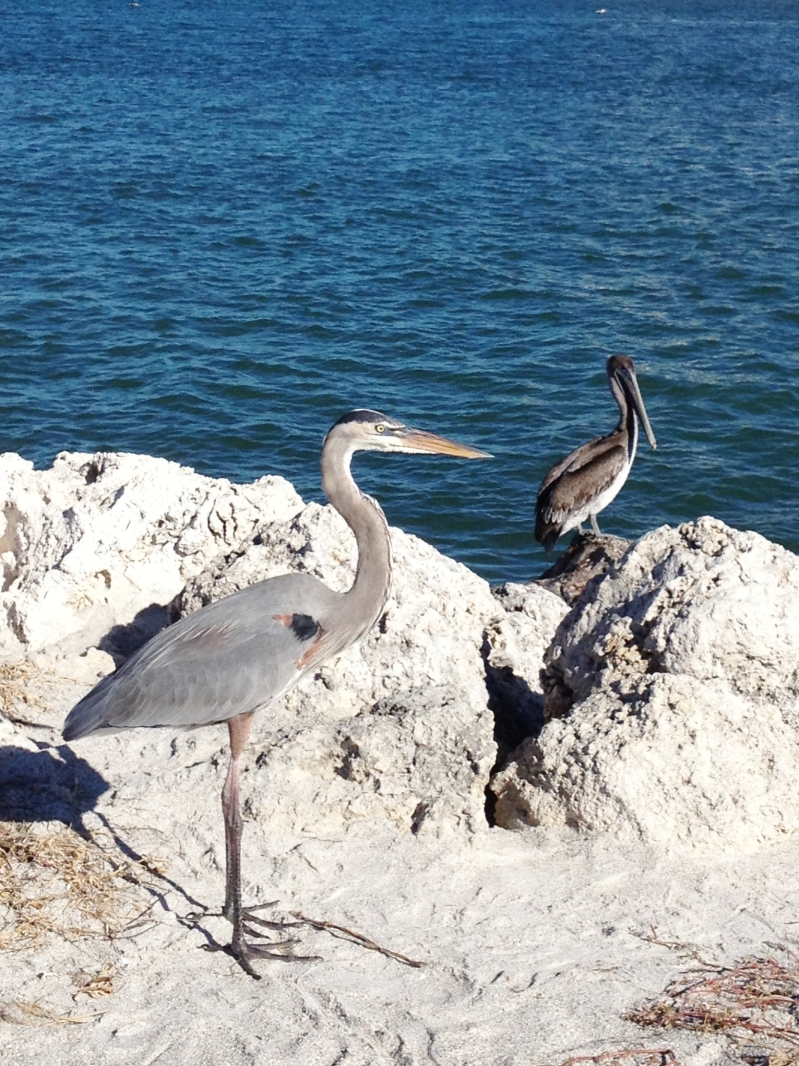 Blue Heron and a Pelican on the beach