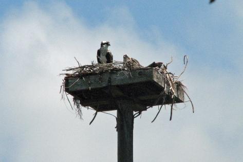 osprey mom with baby 2