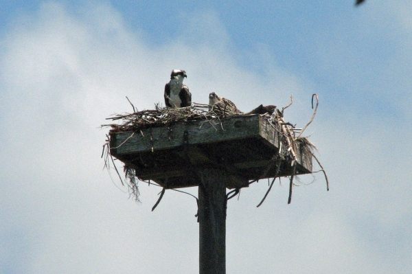 osprey mom with baby 2