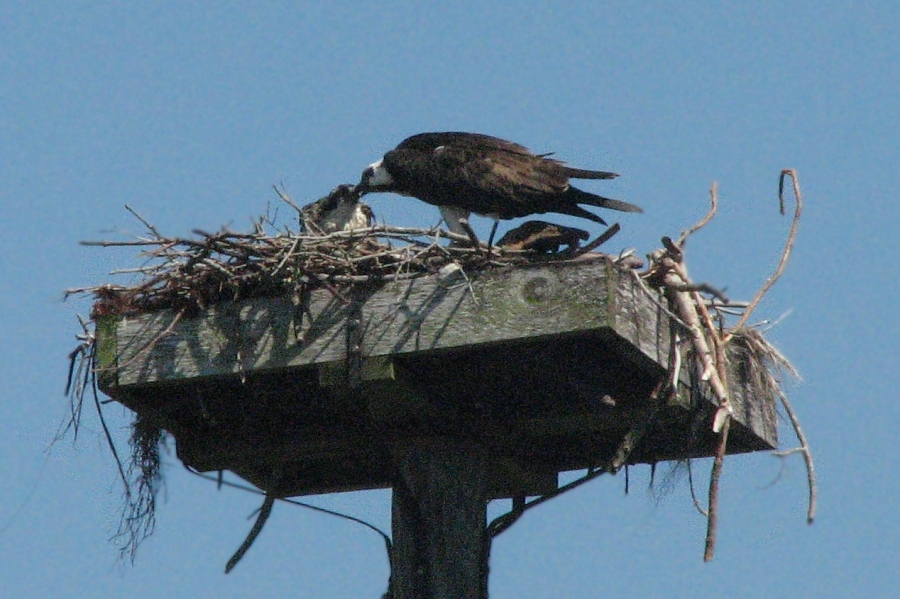 Mama osprey feeds the nestling on April 25