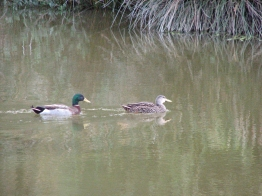 ...to spot the mallards