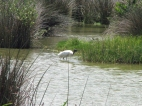 ...and we might spot a wood stork!