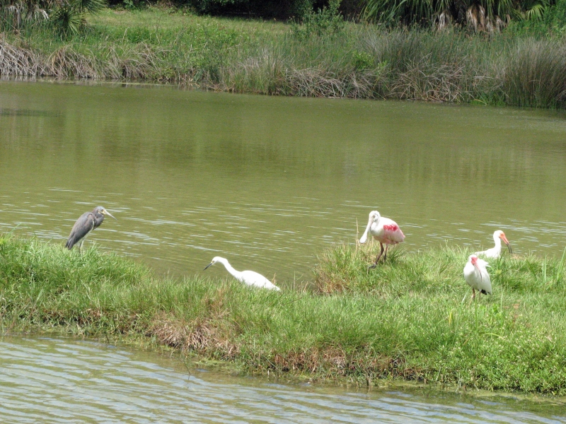 Four different birds on an island: small blue heron, small white egret, roseate spoonbill and two ibis.