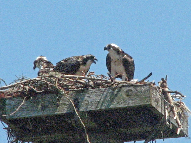 gimme food says baby osprey