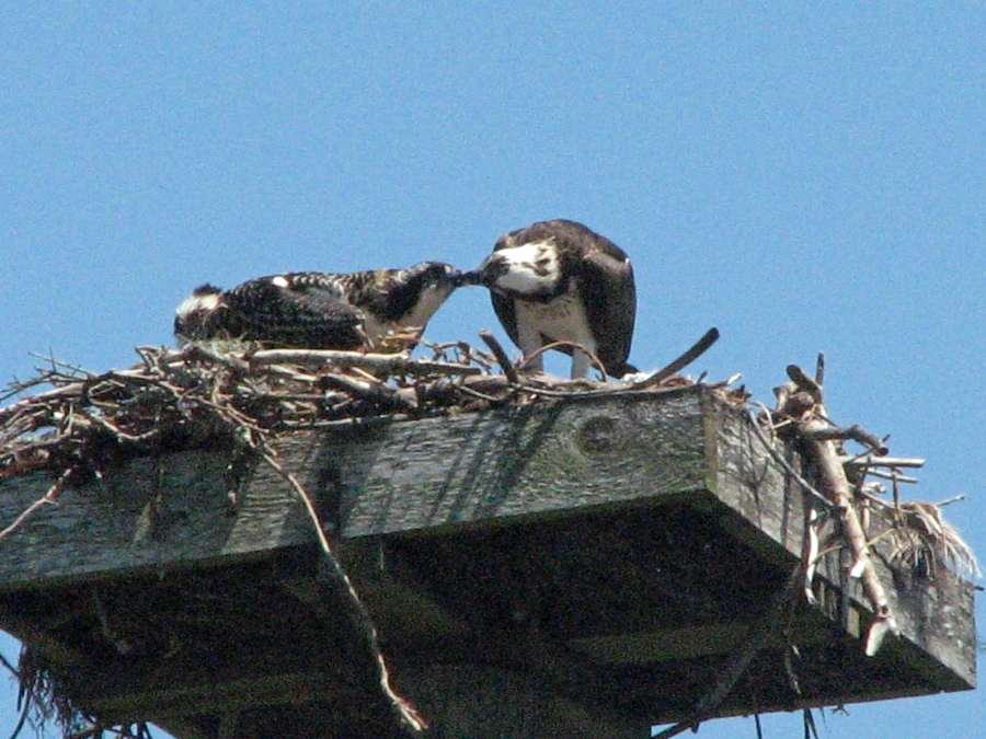 here you go baby mama osprey feeding