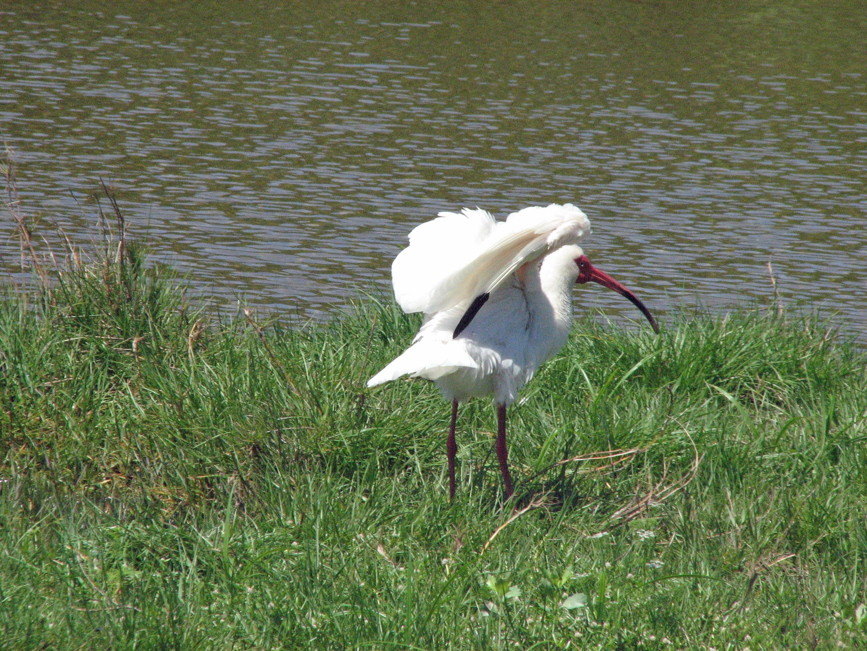 ibis flexing