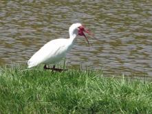 ...or the talkative ibis.