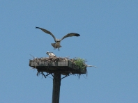 Im flying look mama osprey nestling 513