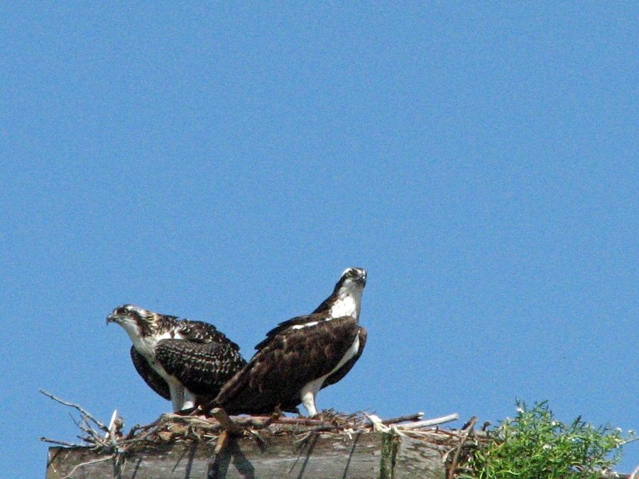 Juvenile AND PAPA OSPREY 521