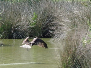 ...or an osprey fishing right there
