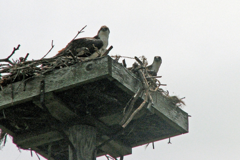 Mama osprey and nestling have discovered Tiny