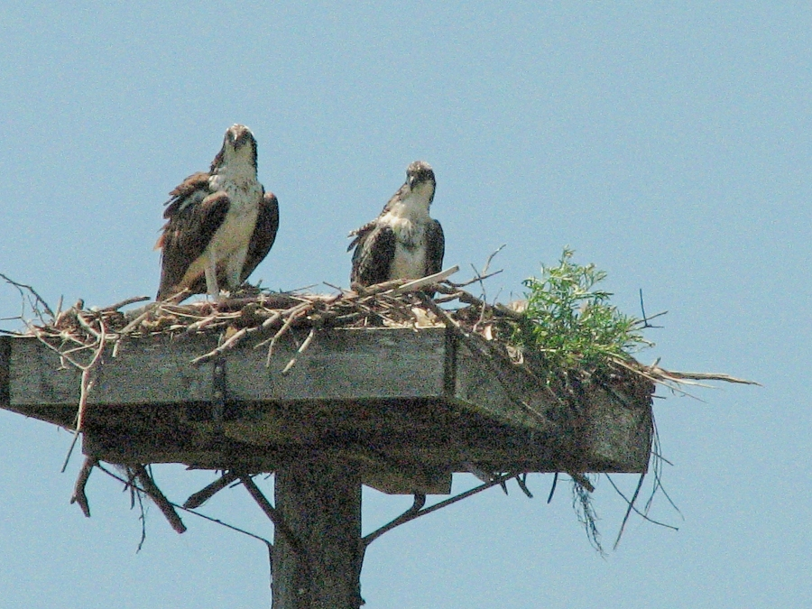 mama osprey and youngster watching tiny ed