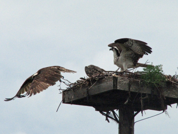 My latest picture of papa osprey on May 11