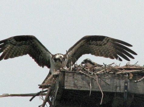 Mama osprey returns to nest