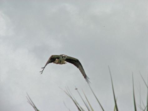 mama ospreys warning flight 511  ed