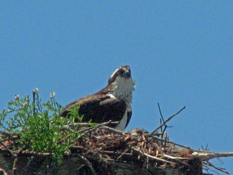 mamaosprey and nesting lying low