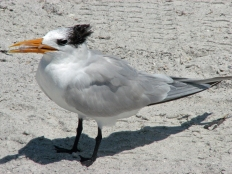 ...or check out the Gulf Tern
