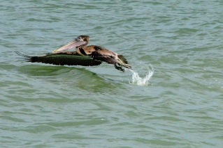 ...and witness a pelican take off